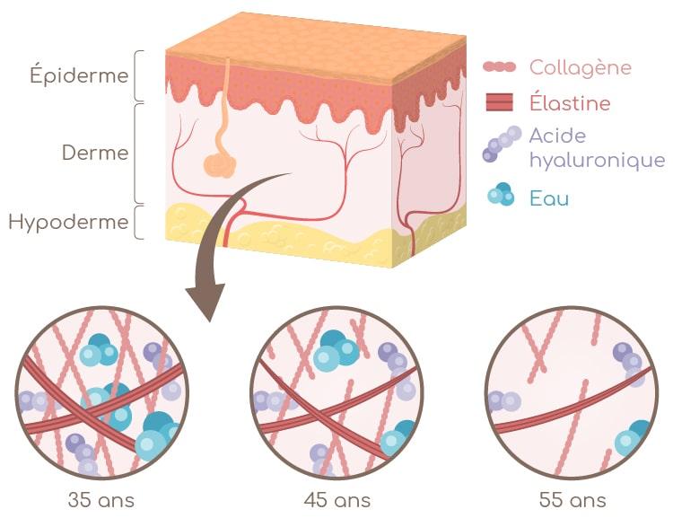 Nutricosmétique : structure de la peau et evolution dans le temps du derme Nutrixeal Info