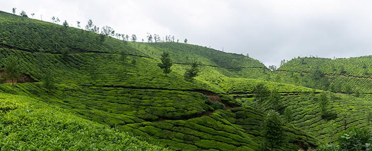 Plantation de thé vert en Inde - Nutrixeal Info