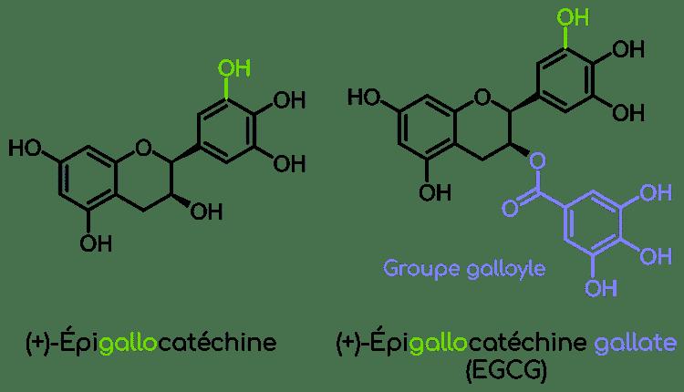 structure epigallocatechine gallate du thé vert Nutrixeal Info