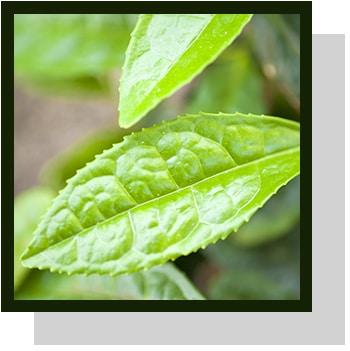 thé vert index nutraceutique Nutrixeal Info 2